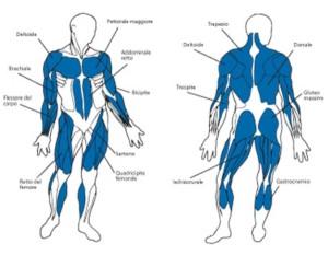 vogatore muscoli