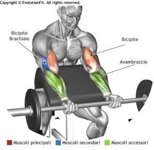 mappa-muscolare-bicipiti-curl-panca-scott-bilanciere